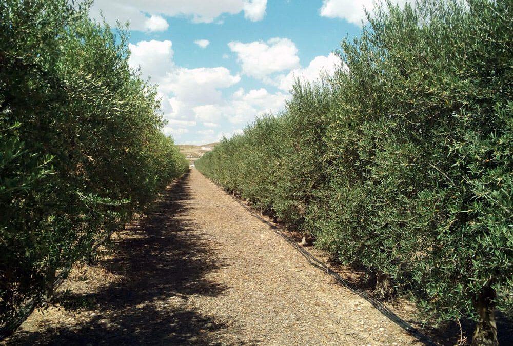 Proyecto de plantación y explotación de olivar en superintensivo (olivar en seto) en la provincia de Alicante.